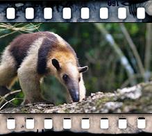 Tamandua at Ant Hill Video